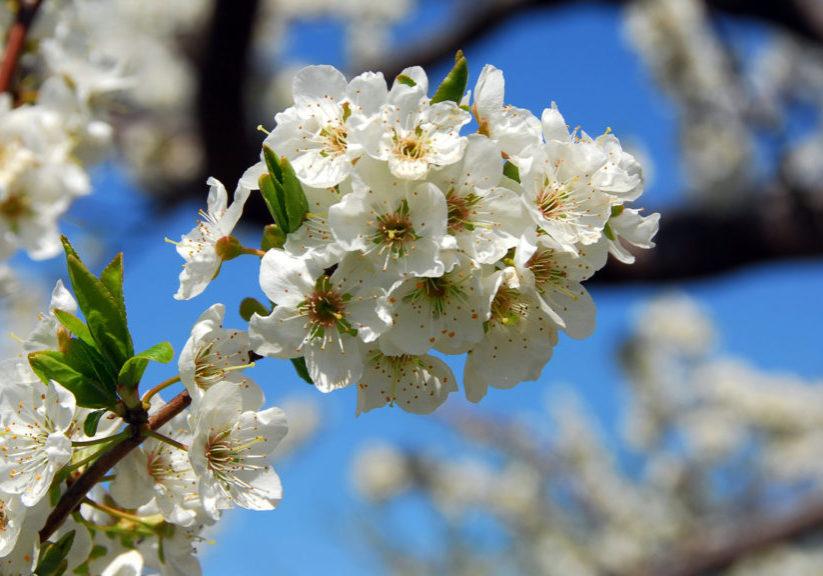 Weekendpaket på Österlen kiviks-hotell-äppelträd-blommar